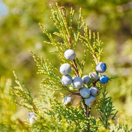 essences: Juniper with berries in the warm rays of the sun