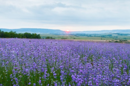 lavendin: Lavender field in the Crimea. Crimean Provence. Bakhchisaray area. Aroma oil. Summer evening with dramatic clouds. Crimea. Ukraine. Russia