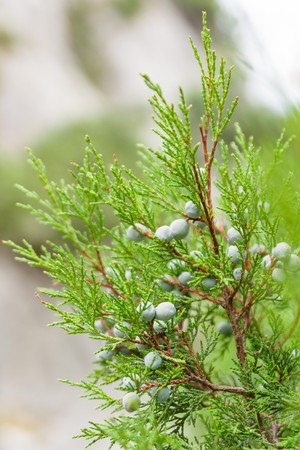 essences: Juniper branch on beautiful green background in forest Stock Photo