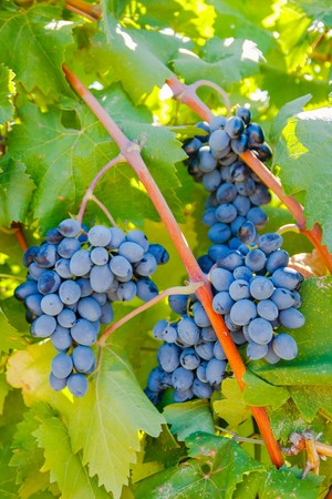 purple red grapes: Purple red grapes with green leaves on the vine under the sun. fresh fruits.