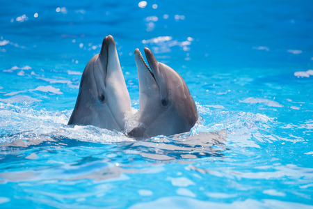 dolphin fish: pair of dolphins dancing in water Stock Photo