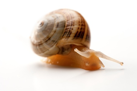 A snail macro shot isolated on a white backgound Stock Photo