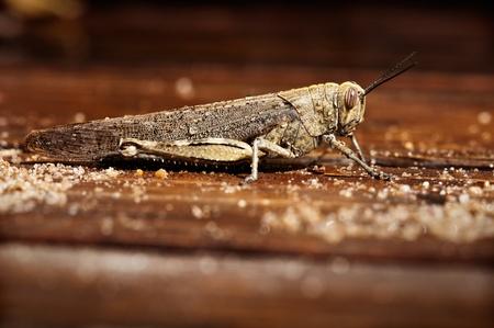 A grasshopper resting in a wet wood floor
