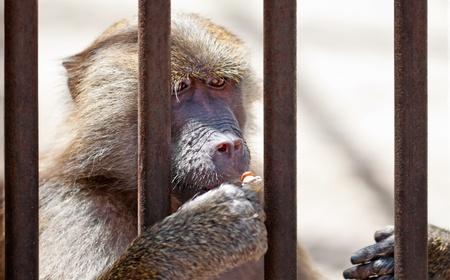 A monkey behind bars eating a peanut