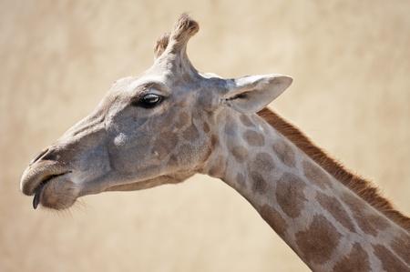 A giraffe looking down Stock Photo