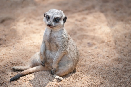 A suricate seated on the sand watching the horizon