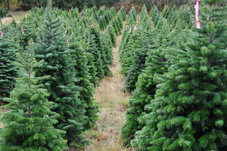 Close up of a Christmas tree farm in Oregon.