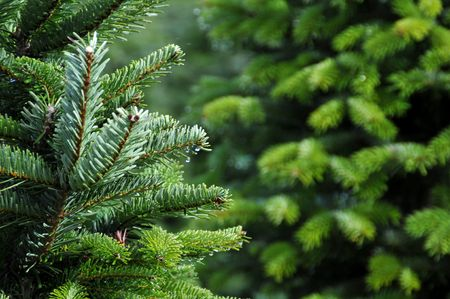 Close up of a Christmas tree farm in Oregon. Stock Photo - 6046088
