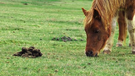 feces: Horse pony eating grass right next to some feces.