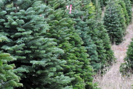 tagged: Close up of a Christmas tree farm in Oregon.
