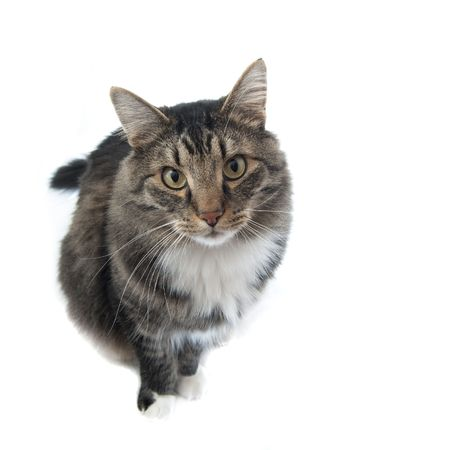 Maine Coon facing the camera, looking up at his master.