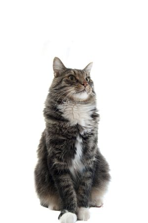 A proud maine coon cat  Stock Photo