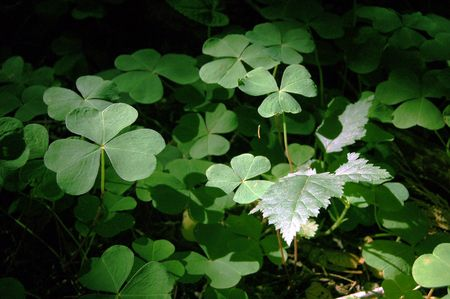 A close up of three leaf clovers in a forest. Stock Photo - 6042963