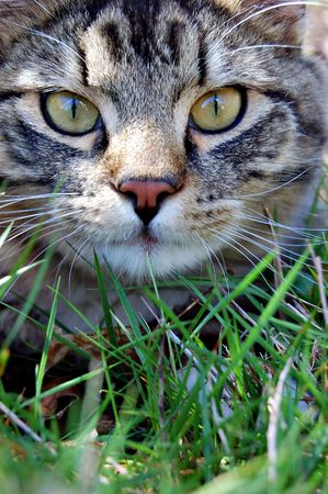 A cat laying in the grass with wide eyes staring directly in front. Imagens