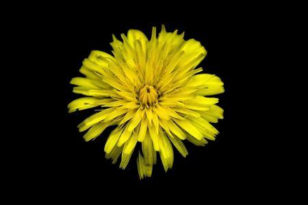 yellow flower isolated on black background Banco de Imagens