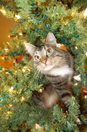 pussy tree: A maine coon cat having fun in a Christmas treel.