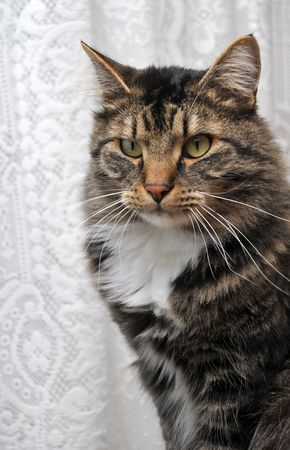 A maine coon cat with a peculiar look on his face in front of white cloth.