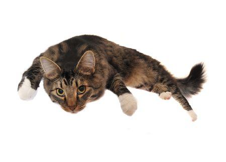 怠惰なメインあらいくま猫の横たわって出かける。 写真素材