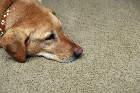 Sad Yellow Lab Laying On Carpet. Copy space on the right side.