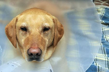 Close up of a yellow labs head with a cone to protect his injury