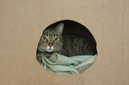 lays: A cute pet cat lays down in his nest inside of a cardboard box with a hole in it wrapped up in a blanket