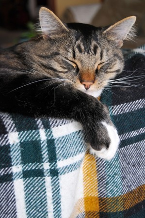 catnap: This cute Maine Coon cat sleeps on top of a couch that has a plaid patterned blanket on it