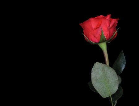 black textured background: Single rose on black background with the stem below and the red rose in the top right. Copyspace to the left.