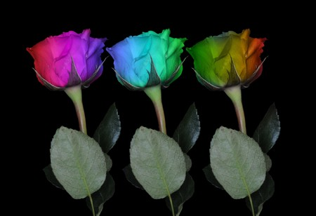 Rainbow colored roses isolated on black background with the stem below.