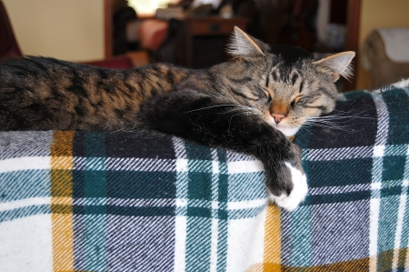 This cute Maine Coon cat sleeps on top of a couch that has a plaid patterned blanket on it  photo