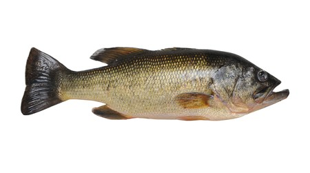 seabass: Un pez bajo Micropterus aislado en un fondo blanco puro.  Foto de archivo