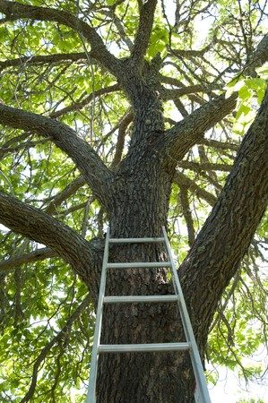 A ladder up against a large tall green tree. photo