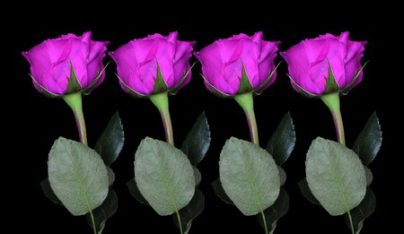 Four purple roses on black background with the stem below and the rose. Stock Photo