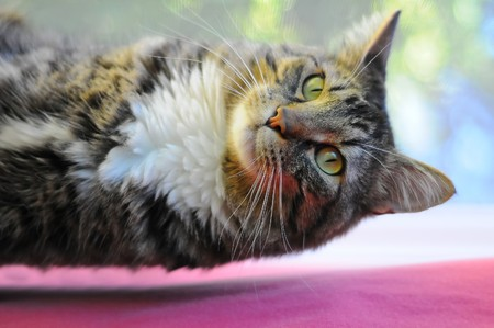 A Maine Coon kitty cat magically floating with levitation above a red rug. photo