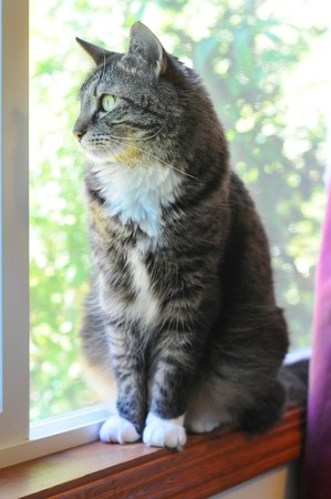 An indoor Maine Coon kitty cat sitting on the window cell yearning to be outside.