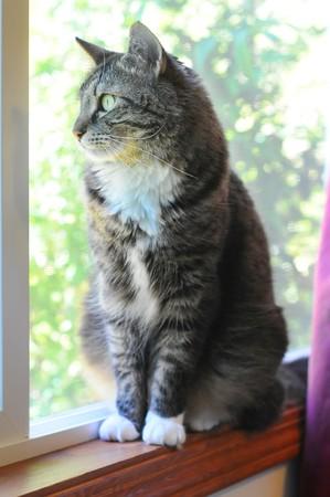 maine cat: Un gato interior de kitty Maine Coon sentado en la celda de ventana anhelo para estar en el exterior.