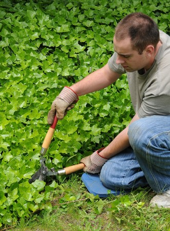 shears: A man holding hedge shears, trimming some ivy near his front yard grass lawn. Stock Photo