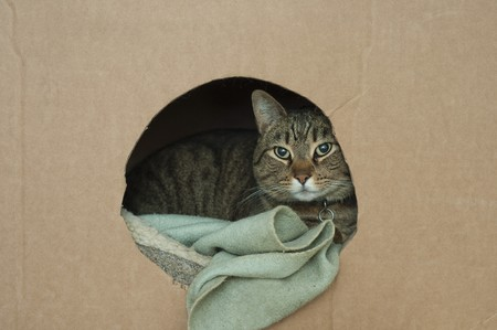 lays down: A cute pet cat lays down in his nest inside of a cardboard box with a hole in it Stock Photo