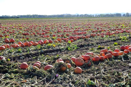 A bunch of pumpkins in a pumpkin patch field photo