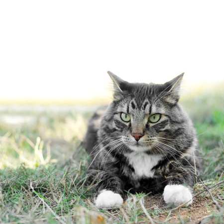 A maine coon cat laying down outside in the grass.