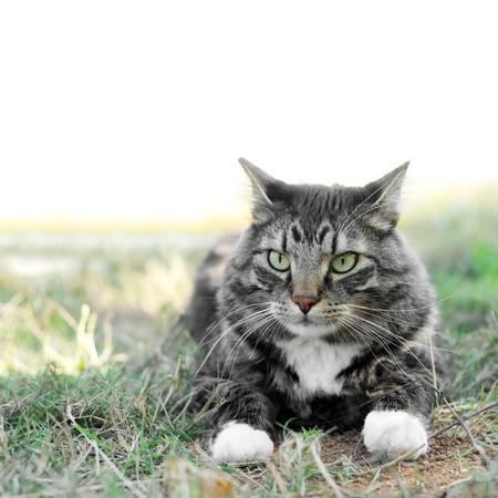maine coon: Eine Maine-Coon-Katze, die Verlegung nach au�en im Gras.