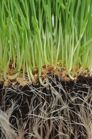 A macro closeup of wheat grass growing from the roots in the ground of dirt and soil photo