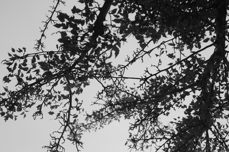 Abstract silhouette of black and white tree branches