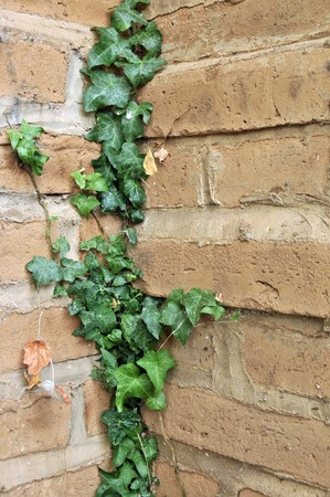 Green English Ivy leafs growing all over brick wall in a corner. photo