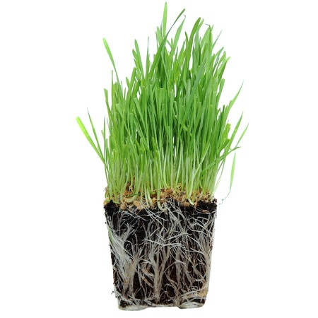 A macro closeup of wheat grass growing from the roots in the ground of dirt and soil Stock Photo