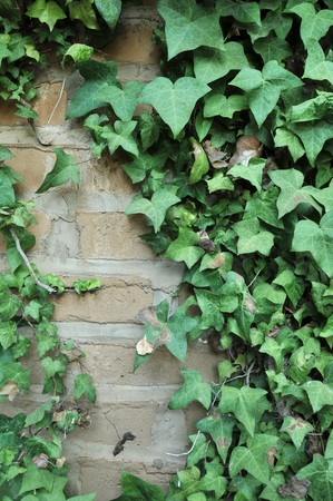 ivy wall: Green English Ivy leafs growing all over a brick wall.