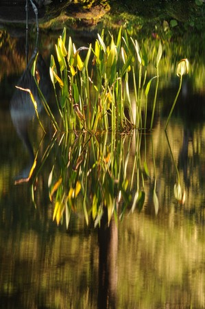 Lotus plant growing in calm garden pond water photo