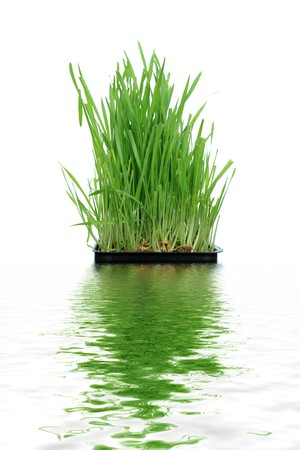 A macro closeup of wheat grass growing from the roots in the ground of dirt and soil Stock Photo - 8266861