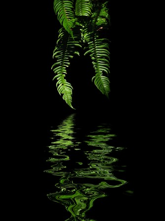 green background: Green ferns isolated on black background with water reflection Stock Photo