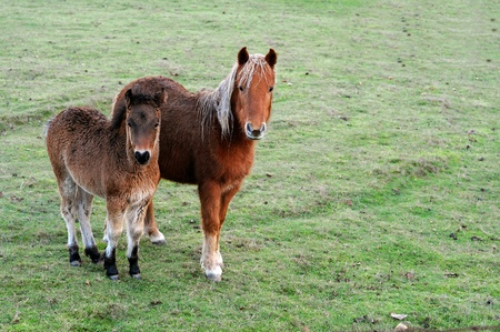 A pair of cute brown ponies on a green grass field. photo