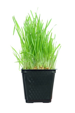 A macro closeup of wheat grass growing from the roots in the ground of dirt and soil Stock Photo - 8482174